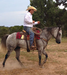 gray gelding for sale