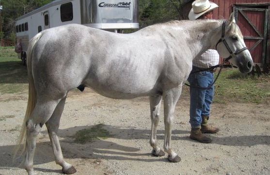 aqha stallion for sale