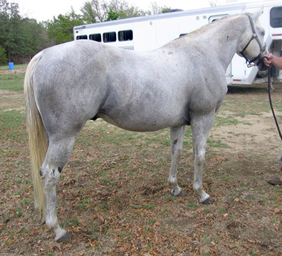 aqha gray three bars stallion for sale.